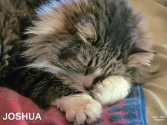 Joshua (Lisa Zins) Tags: cats cat fur tn catnap mainecoon kitties mtjuliet mtjuliettn lisazins