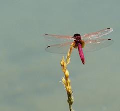 DSC086231n (Fran PS) Tags: espaa naturaleza lake nature lago spain dragonfly liblula albacete castillalamancha lagunasderuidera