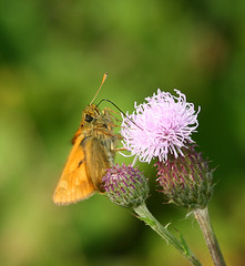 """Skipper Butterfly • <a style=""""font-size:0.8em;"""" href=""""http://www.flickr.com/photos/57024565@N00/9345055882/"""" target=""""_blank"""">View on Flickr</a>"""
