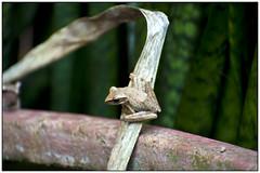 Kikkers in de tuin in Ao Nang, Thailand (Michael Neeven) Tags: garden thailand frog frogs tropical tuin ao tropics krabi nang kikker aonang bloempot kikkers tropen tropisch