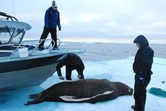 Walrus Hunt 8_5_13 1 349 (efusco) Tags: ocean sea ice alaska native arctic butcher hunter beaufort walrus hunt midnightsun iceburg floe inupiat inupiaq aivik femalewalrushunt85131