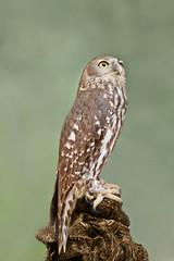 Barking Owl (Ninox Connivens) (chatallot) Tags: australia owl myworld midlands barkingowl australianowl