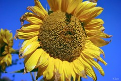 Now the summer is over... (!Claro) Tags: autumn fall yellow over faded sunflower sonnenblume sear