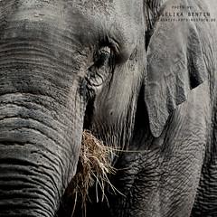 Elefant (AngelikaBentin) Tags: shanghai elefant nahaufnahme