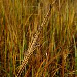 Spartina alterniflora thumbnail