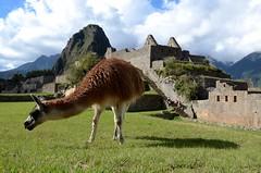 Lama@Machu Picchu, Peru
