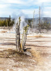 Stumpy Dead Tree (Rachel Dunsdon) Tags: tree dead steam stumpy stump yellowstone