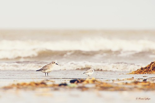 Grey Plover & Friend