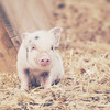 Micro Pig! (Samantha Nicol Art Photography) Tags: portrait art animal square pig bacon micro samantha nicol