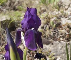 Iris en el camino de San Blas al Pantano de El Arquillo. (cachanico) Tags: flowers iris flores flower fleur fleurs flor olympus pantano fiori fiore sanblas teruel aragn zd1454 e420 elarquillo cachanico