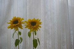 sunflowers (kiyohit) Tags: 700