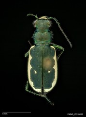 Cicindela nigrocoerulea bowditchi - Male (Specimens from the Zoology Collections at the DMNS) Tags: blue insectos green nature museum bug insect focus colorado shiny pin metallic beetle insects science denver bugs stack montage copper beetles predator museums biology tigerbeetle specimen ze zoology entomology combined grinter specimens dmns pinned cicindela compiled focusstack carabidae helicon escarabajos denvermuseumofnaturescience cicindelidae zerene predacious groundbeetle cicindelinae zstack visionarydigital chrisgrinter