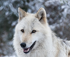 WOLVES_Jan182014_0199 (Roni Chastain Photography) Tags: animals wolf wildanimal wolves canines wolfconservationcenter nywolf rockymountaingraywolf