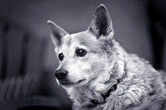 Nella (Kyle Chaisson) Tags: california blackandwhite bw dog classic contrast canon puppy eos prime dof bokeh bored 5d canon5d pup flickrcentral fullframe dslr ff 135mm eldoradocounty flickrfavs nella shallowdof 135mmf2l canon135mmf2l beyondbokeh kylechaisson