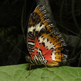 Lacewing, Butterfly Magic at the Tucson Botanical Gardens