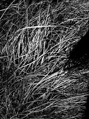 Palmwydd blewog  /  Whiskery Palmtree (FfotoMarc) Tags: cameraphone park bw tree wales garden mono natur cymru cardiff palmtree caerdydd canton allrightsreserved iphone gardd parciau dugwyn cardiffwales thompsonspark treganna welshflickrcymru iphoneography chawlfraintcopyrightffotomarc iphone4s cedwirpobhawlfraint
