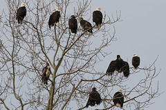Bald Eagles Near Boundary Bay (Dennis J. Nelson) Tags: bc bald eagles haliaeetus leucocephalus
