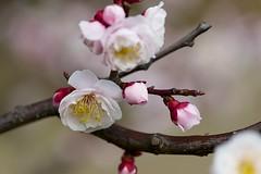 Prunus mume (Jim Mayes) Tags: macro digital minolta sony 100mm alpha minoltaaf100mmf28macro