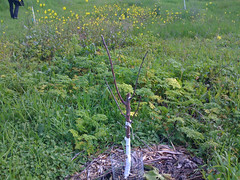 Babt Fruit Tree with Protection around Trunk_6229243252_l