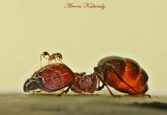 David and Goliath........ (aroon_kalandy) Tags: macro art nature climb ant tamron davidandgoliath calicut aroonkalandy