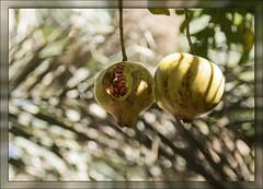 Pomegranates (Ciao Anita!) Tags: friends fruit bokeh morocco marocco frutta marokko tinghir todragorge pomegrantes granaatappels theperfectphotographer melagrane todrakloof soussmassadaraâ goleditodra fotoworkshopnl todghagorge