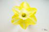 DSC_7159 (@Dave) Tags: flower nikon daffodil nikkor dslr narcissus pseudonarcissus d600