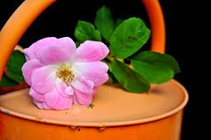 Flower in Pail (Tom Leers) Tags: pink orange black flower macro water nikon can backdrop pail watering d300