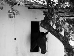 la casa del cavallo (felinabubo) Tags: horse caballo cheval nikon campagna e nikkor campaign cavallo bianco nero hest veneto campaa kampanje casadelcavallo 55300 scorz d3100