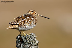 Common Snipe, Gallinago gallinago (Nigel Blake, 17 MILLION views! Many thanks!) Tags: bird covered lichen common fencepost shorebird wader snipe commonsnipe birdphotography gallinago nigelblake nigelblakephotography