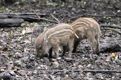 (wistine) Tags: autumn pig herbst schwein wildschwein frischling frischlinge 2013