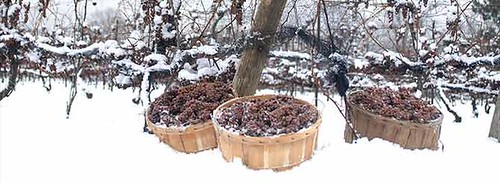 Inniskillin--icewine-grapes-10004117
