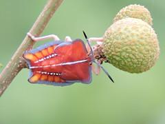 Liuzhou/柳州 - Tessaratoma papillosa/Lychee Stink Bug/荔枝椿象 DSCN1147 (Petr Novák (新彼得)) Tags: china nature animal bug insect asia wildlife asie 中国 nymph guangxi liuzhou 动物 truebug 昆虫 hmyz 广西 hemiptera 柳州 heteroptera 亚洲 lycheestinkbug tessaratomapapillosa tessaratomidae 半翅目 čína 荔枝椿象 ploštice 异翅亚目 polokřídlí
