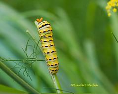 Black Swallowtail caterpillar (Lindell Dillon) Tags: oklahoma nature lepidoptera caterpillar blackswallowtail lindelldillon
