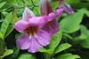 """Rehmannia elata - Botanischer Garten Berlin • <a style=""""font-size:0.8em;"""" href=""""http://www.flickr.com/photos/25397586@N00/19767861315/"""" target=""""_blank"""">View on Flickr</a>"""