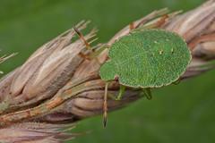 Green Shieldbug nymph (steb1) Tags: macro bug insect canonmpe65mm shieldbug truebug 2015 hemiptera pentatomidae palomenaprasina greenshieldbug whixallmoss concavediffuser yongnuoyn14ex