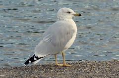 DSC01344 Ring Billed Gull.. (jefflack Wildlife&Nature) Tags: ringbilledgull gulls gull birds avian animal wildlife wildbirds seabirds seashore estuaries lakes countryside coastalbirds canada nature