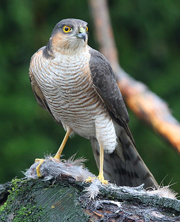 MALE SPARROWHAWK....Mid Wales....No birds were harmed taking this shot.