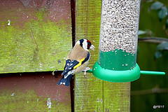 Goldfinch (m) Carduelis carduelis (postman.pete) Tags: wickedweasel apple black bluetit bluepink doris feeder goldfinch lake longtailedtit lumix picasa ripple tree treepicasa twig windthursday winter typical lifespan 2 years maximum recorded age ringed bird actual may be greater from ringing 8 months 4 days set 2004 bto data