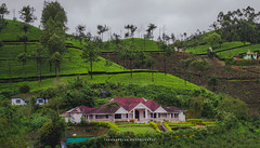 Tea Estate (dtrajan) Tags: estates hillstation kerala munnar nature tea beauty bliss blues bushes clouds colors green greens india landscape light matte morning mountains outdoor photography plantation scenic skies travel traveldairies trees view westernghats