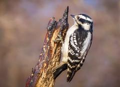 """The Lovely Downy Woodpecker"" (female) (Cathy Lorraine) Tags: downywoodpecker centralpark newyorkcity newyork northamerica nature outdoors bokeh winter"