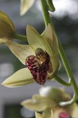 Orchid (Björn S...) Tags: orchid orchidee orchidée orquídea orchidea орхиде́я rombergpark orchideenausstellung dortmund