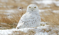 Snowy Owl by Steve Gifford (Steve Gifford - IN) Tags: snowy owl west michigan regionalairport tulip city holland steve steven gifford oxford oh ohio mi bird wildlife nature picture photo photograph audubon society