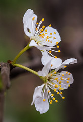 Cherry Blossom (Mayasunita) Tags: floweres still