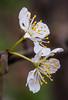 Cherry Blossom (Mayasunita) Tags: floweres still