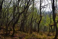 Forest by ioanna papanikolaou CSC_1390 (joanna papanikolaou) Tags: forest greece prespes nature trees foliage leaves spring beautiful bark trunk scape landscape scene travel exploration