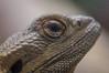 The Eye (Matt H. Imaging) Tags: ©matthimaging reptile lizard closeup detail animal zoo fauna sony slt sonyalpha slta55v a55 minolta minoltaaf100mmf28macro minolta100f28macro