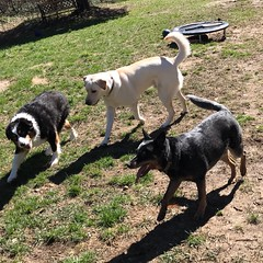 (Cheeseisboss) Tags: spring balltime littlebuddies goofballs pets outdoors dogs