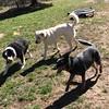 (Cheeseisboss) Tags: spring balltime littlebuddies goofballs pets outdoors dogs