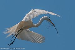 "Great Egret ""Casmerodius albus"" (dschultz742) Tags: birds sigma greategrets d300 casmerodiusalbus santarosaca nikonsigma ninthstreetrookery davidschultzphotographycom mountbakercameraclub 05172013 throughthelensrevelations"
