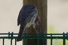 Hello (bentspur) Tags: birds animals housefinch malehousefinch haemorhousmexicanus